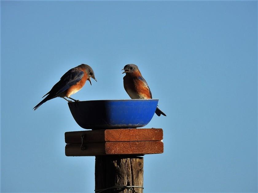 161031bbcut-bluebirds1
