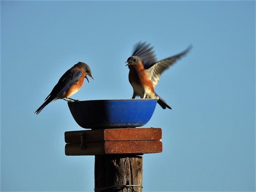 161031bbcut-bluebirds2
