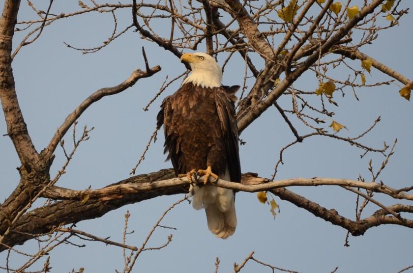 161031bbcut-eagle