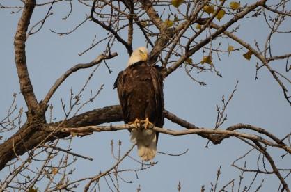 161031bbcut-eagle2