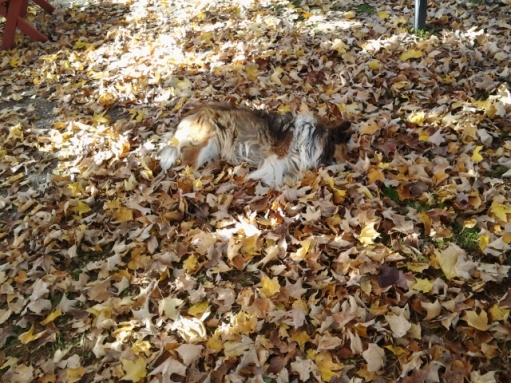 """Our pets, our theater of seasons, ourselves ... Bev Jay writes: """"With all the leaves on the ground, my dog Petunia wanted to take a cushioned nap. Can you see her? Her head is towards the right."""""""