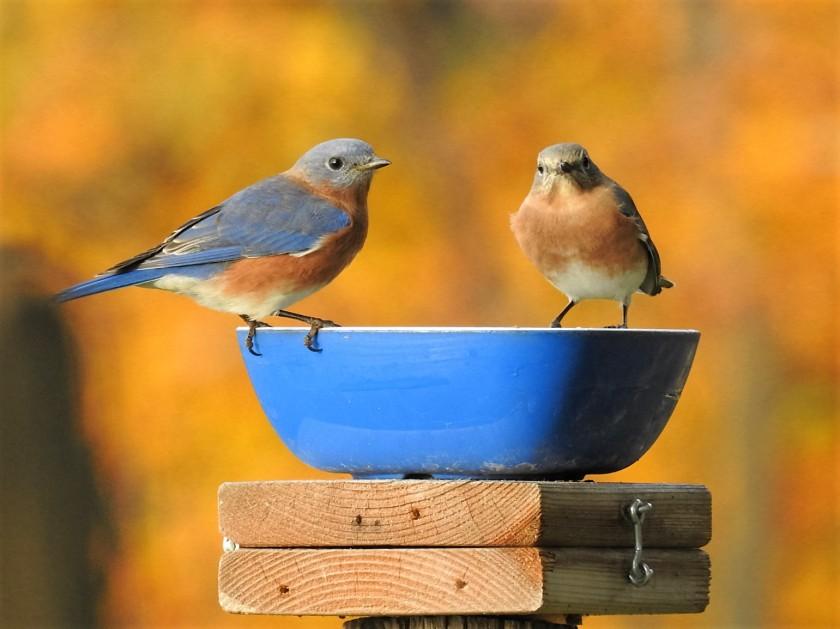 161103bbcut-bluebird1