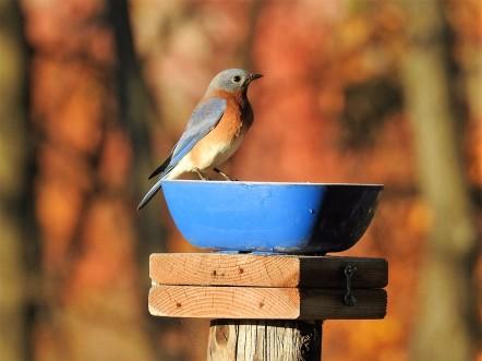 161103bbcut-bluebird2