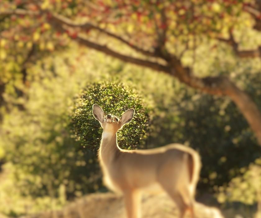 161103bbcut-deer