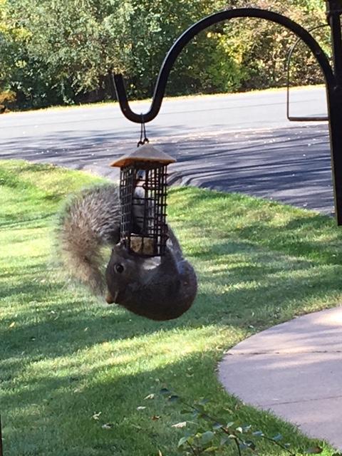 161105bbcut-squirrelonfeeder
