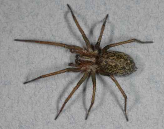 hobo_spider
