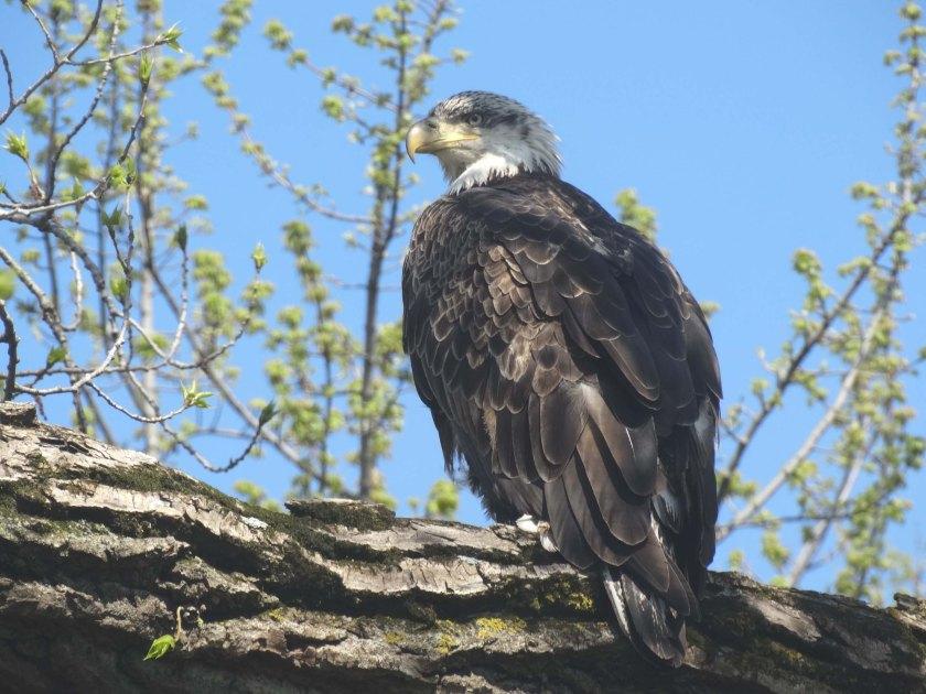 161210bbcut-eagle1