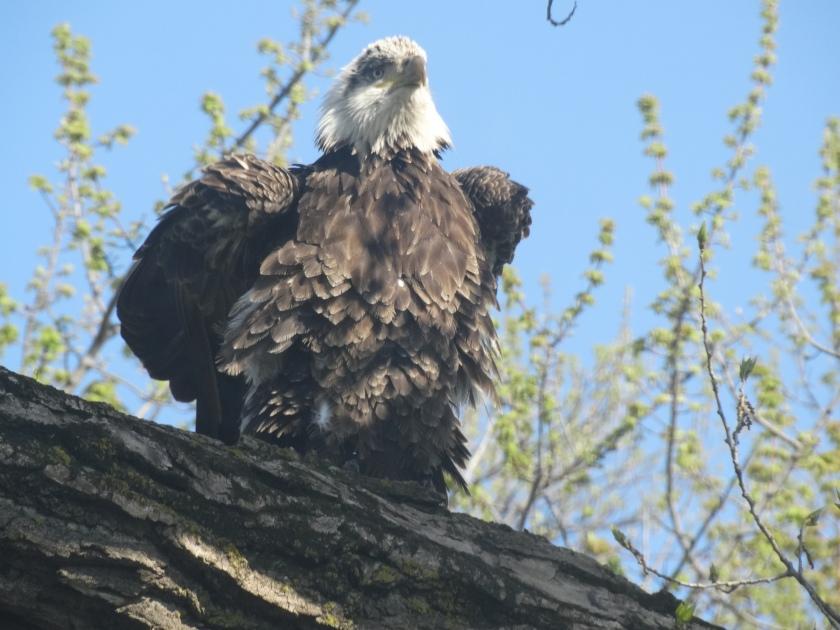 161210bbcut-eagle3
