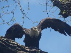 161210bbcut-eagle4