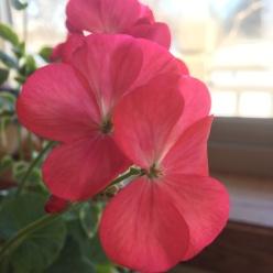 161216bbcut-geranium
