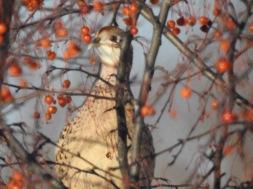 161219bbcut-pheasant