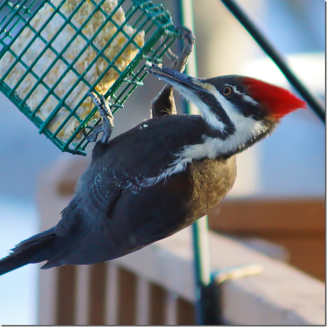 100131bbcut-pileated1