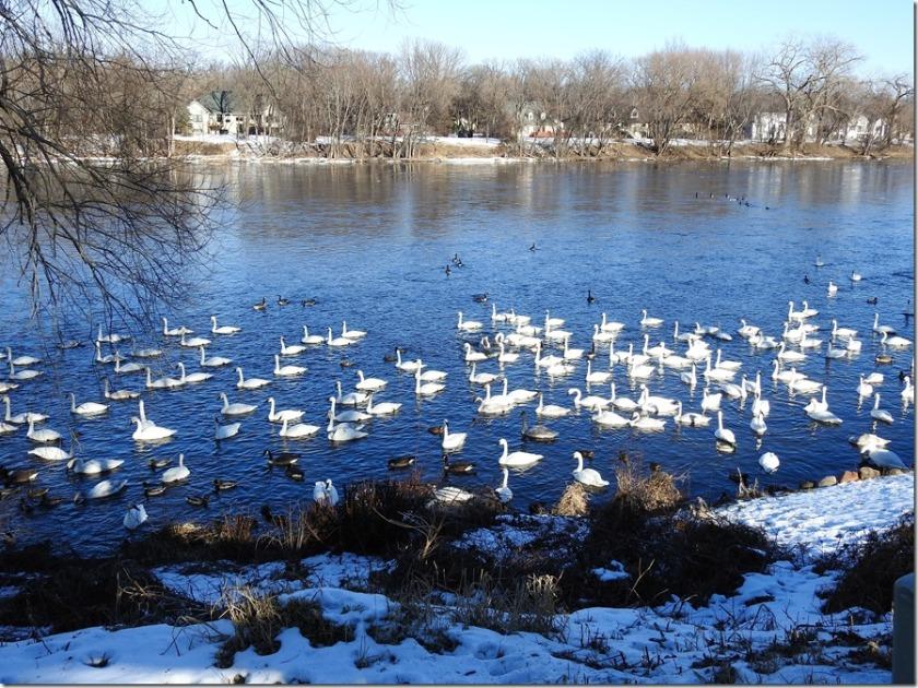 170103bbcut-swan