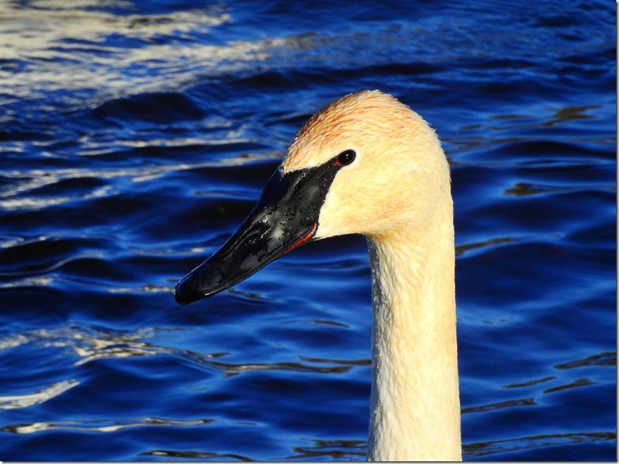 170103bbcut-swan2