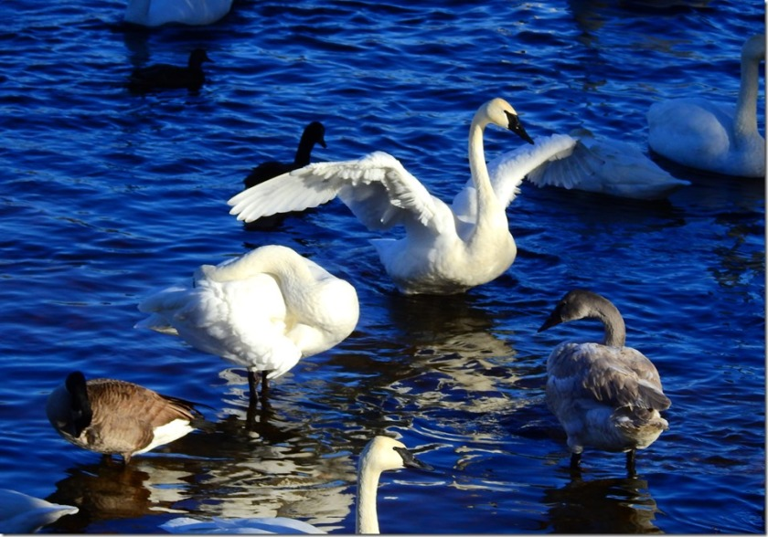 170103bbcut-swan3