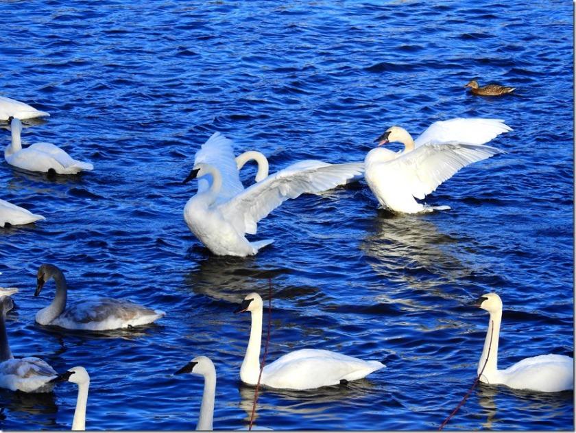 170103bbcut-swan6