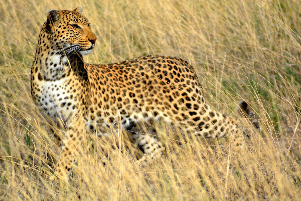 170109bbcut-leopard