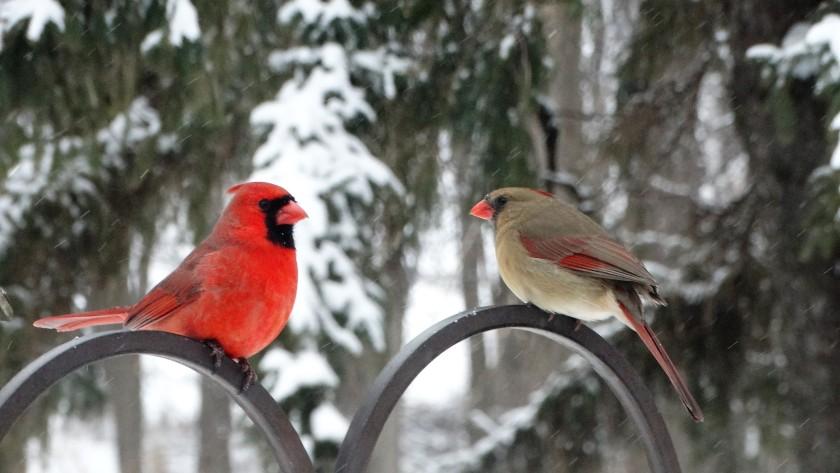 170112bbcut-cardinals1