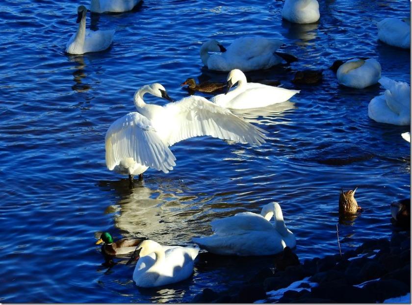 170113bbcut-swan4