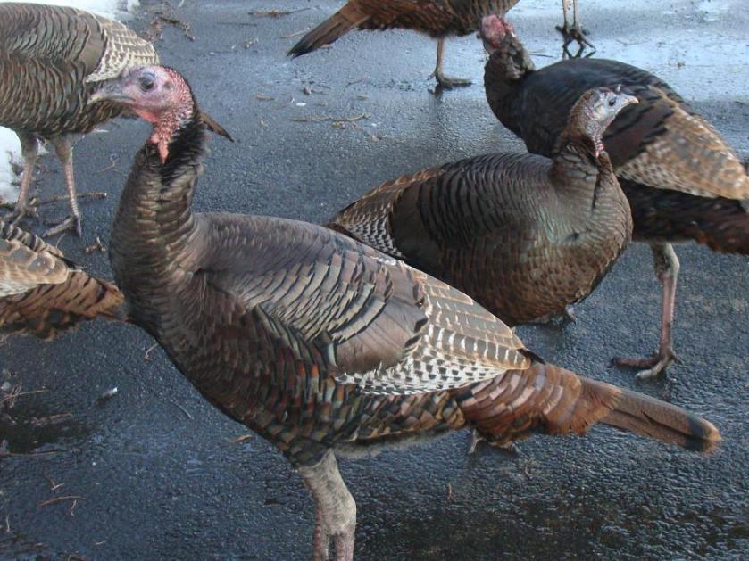 170120bbcut-turkeys2