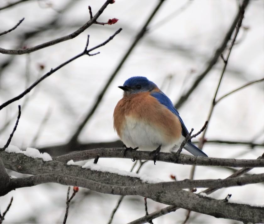 170125bbcut-bluebird