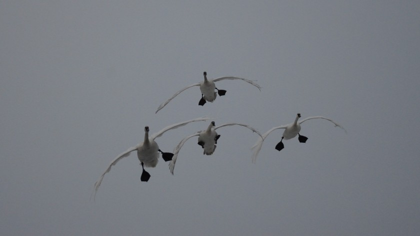 170130bbcut-swans1