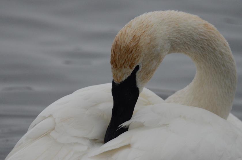 170130bbcut-swans10