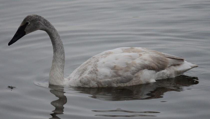 170130bbcut-swans12