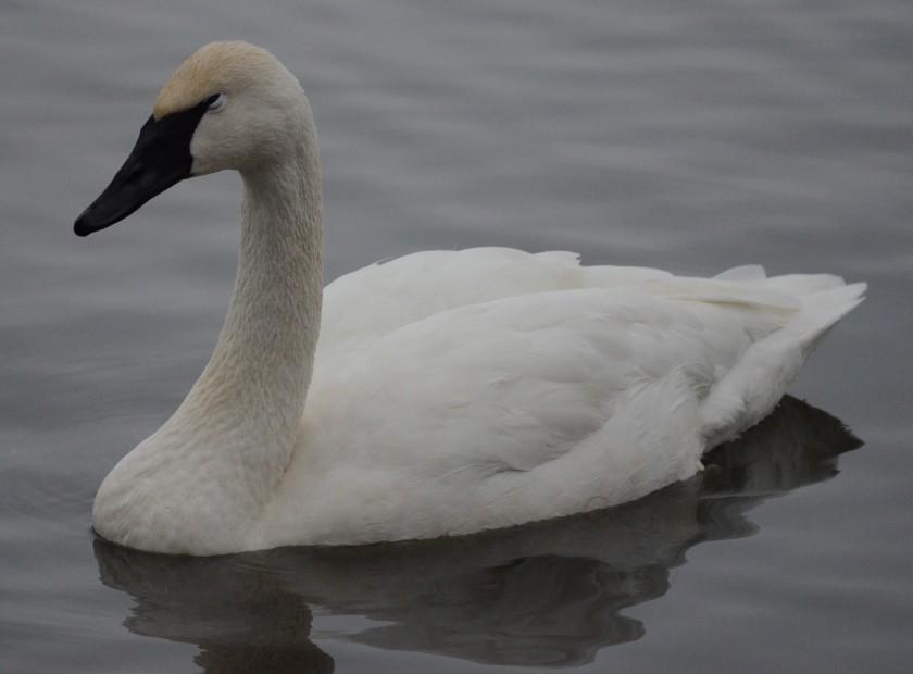 170130bbcut-swans13