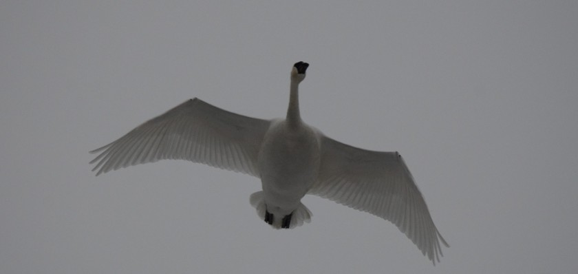 170130bbcut-swans14