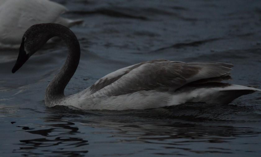 170130bbcut-swans2