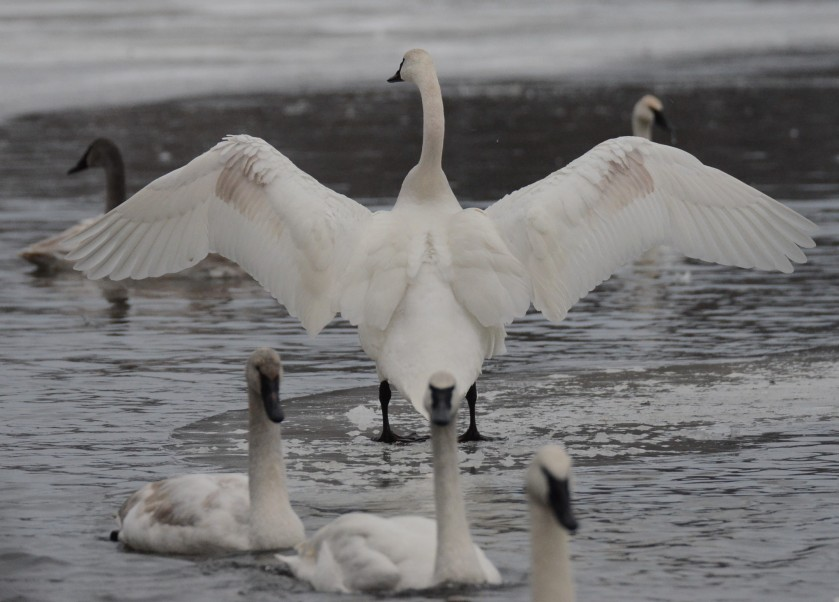 170130bbcut-swans6