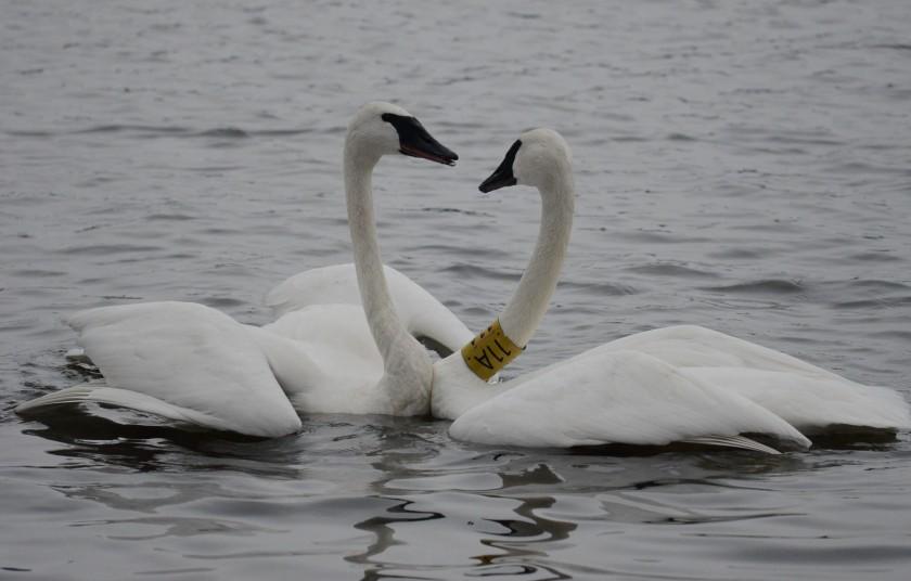 170130bbcut-swans7