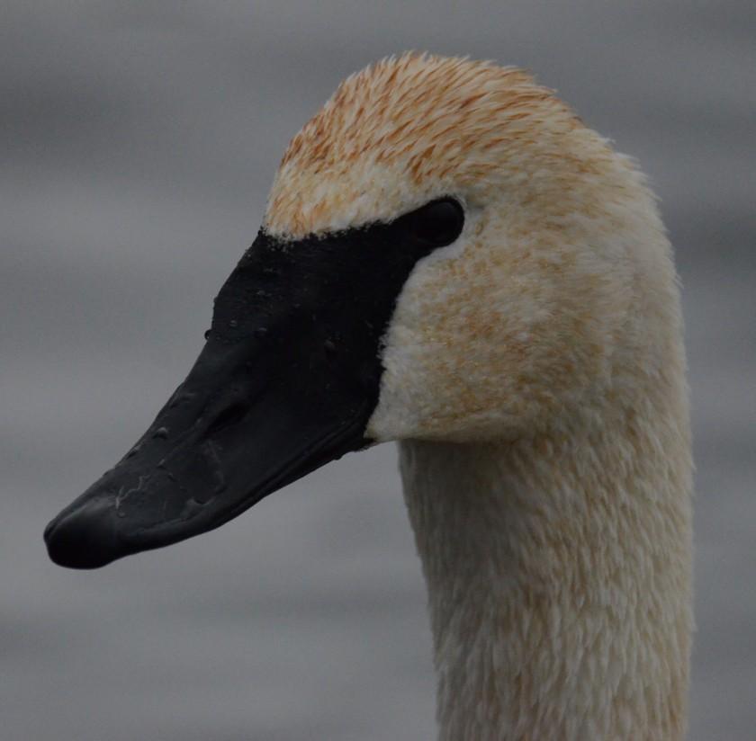 170130bbcut-swans9