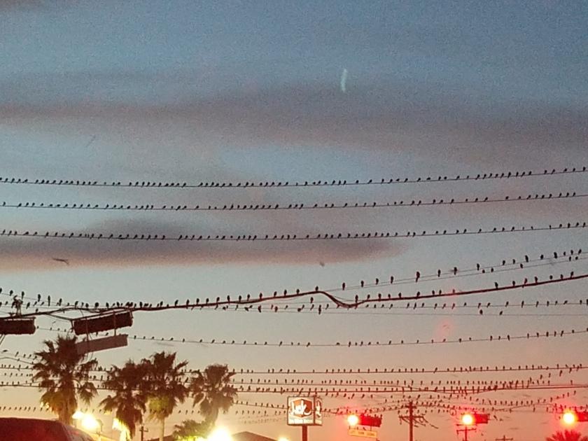170201bbcut-birdsonwires