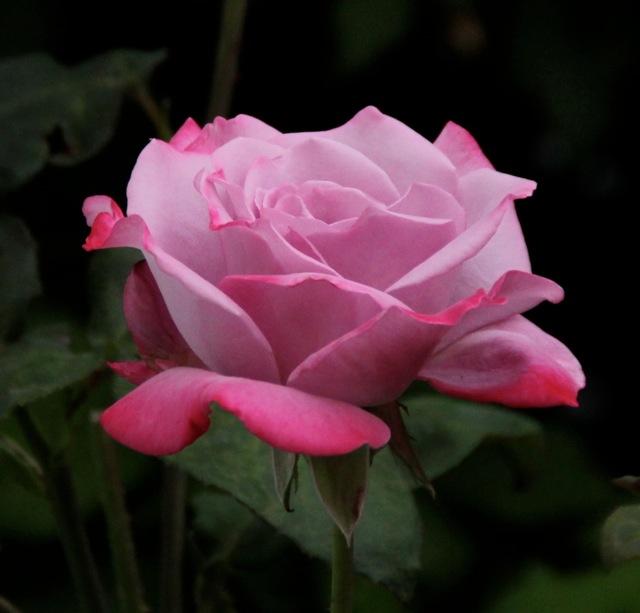 170214bbcut-rose