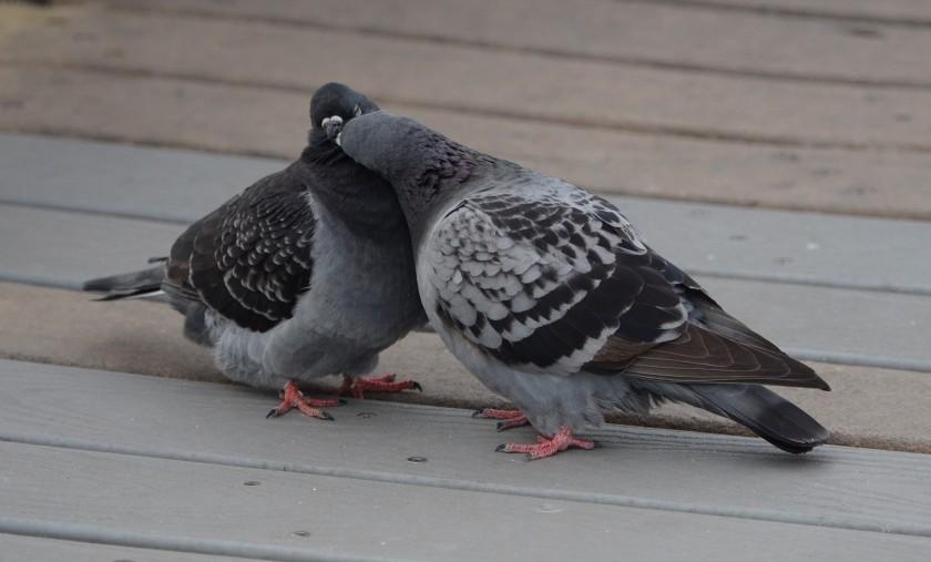 170216bbcut-pigeons1