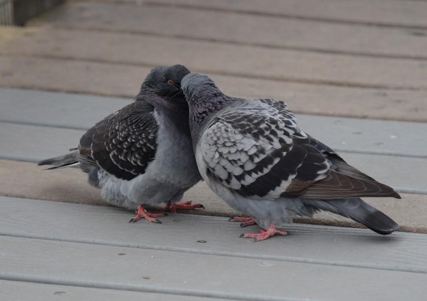 170216bbcut-pigeons2