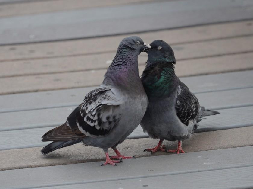 170216bbcut-pigeons3