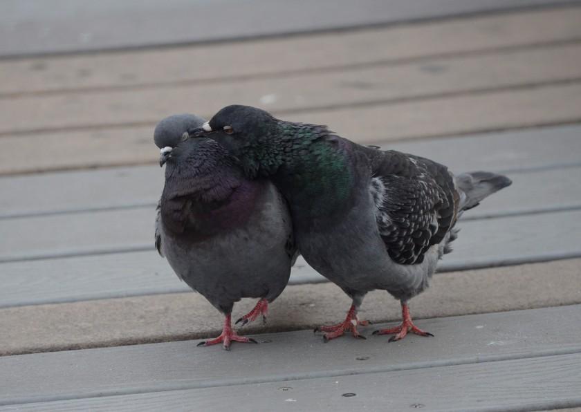 170216bbcut-pigeons5