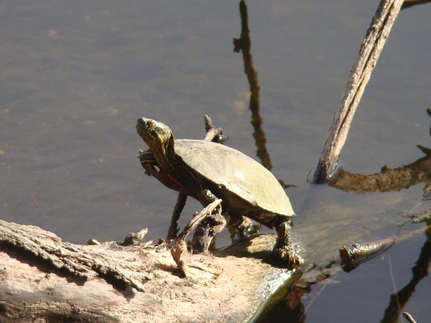 170330bbcut-turtle
