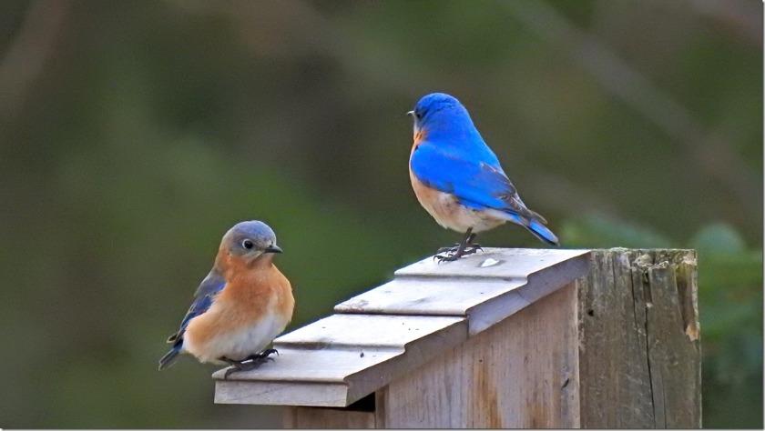 170401bbcut-bluebirds