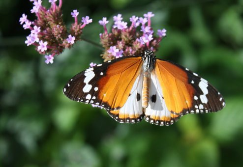 1760309bbcut-butterfly