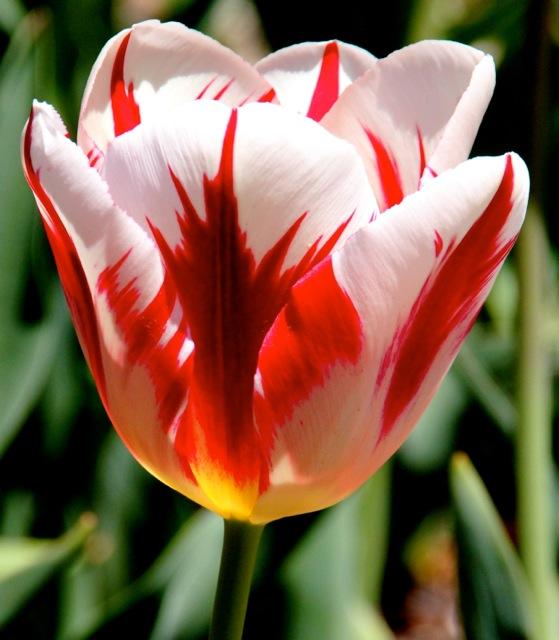 170405bbcut-tulip1