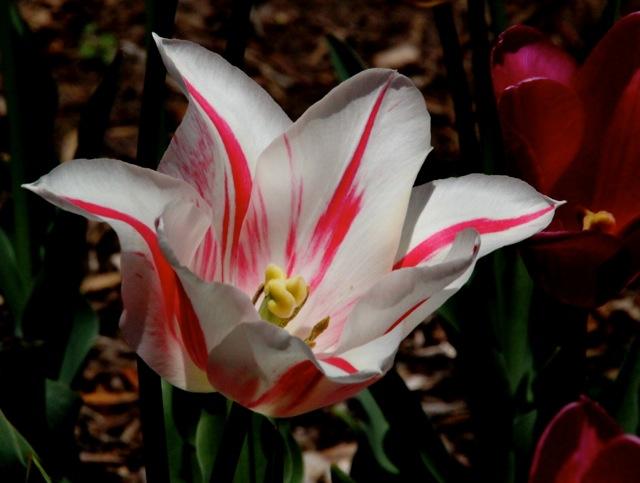 170405bbcut-tulip2