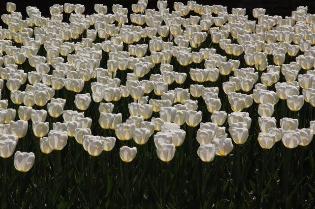 170405bbcut-tulip3