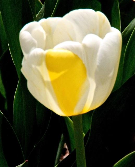 170405bbcut-tulip4