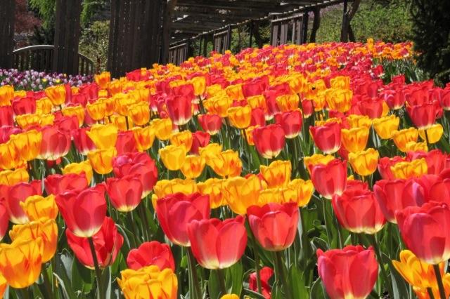170410bbcut-tulips2