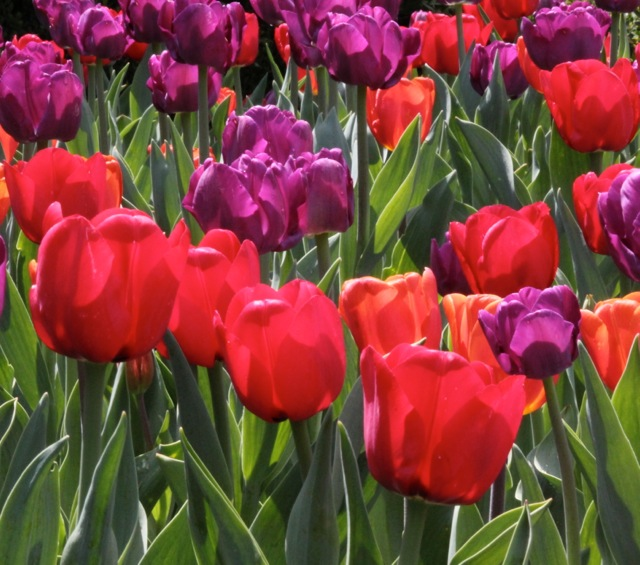 170410bbcut-tulips4