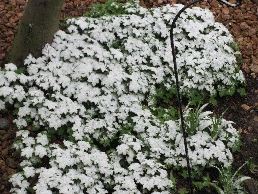 170428bbcut-snowflowers
